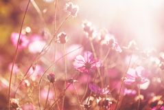 Beautiful pink flowers in soft focus in the rays of the setting. Sun, tender bokeh, natural floral background and texture stock images