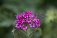 Beautiful pink flowers of  spiraea japonica in the Royalty Free Stock Photo