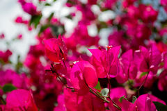 Beautiful pink flowers. Beautiful pink spring flowers royalty free stock photo