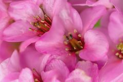 Pink flowers in the spring orchard. Raindrops on flowers. royalty free stock photos