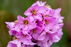 Pink flowers in springtime.Raindrops on flowers.Macro image. stock photos
