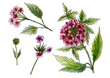 Beautiful pink flowers on a stem. Detailed floral set lantana flowers, leaves, buds. Isolated on white background. Watercolor painting. Hand drawn illustration Stock Photography