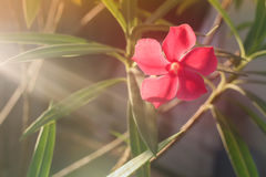 Beautiful pink flowers in Surat Thani Thailand stock photos