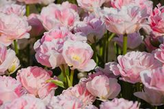 Beautiful flowers of tulips in spring royalty free stock images