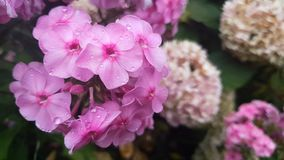 Beautiful pink flowers with water drops in the garden. Phlox in the rain, light breeze close up, dynamic scene. Toned video stock video