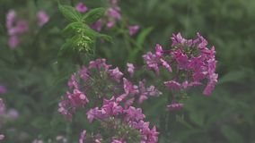 Beautiful pink flowers with water drops in the garden. Phlox in the shower rain, close up, dynamic scene, toned video. Beautiful pink flowers with water drops stock video footage
