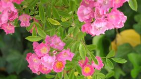 Beautiful pink flowers in the wind. Beautiful pink flowers with green background stock video