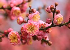 Beautiful Pink Flowers with Yellow Centres Royalty Free Stock Photos