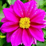 Beautiful pink flowers with yellow color in the middle stock image