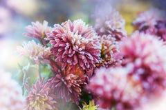 Frozen flowers. Beautiful pink frozen flower late autumn in morning stock photo