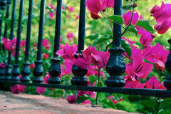 Beautiful pink fuchsia bougainvillea between a black wrought iron railing. A Stock Photos