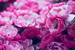 Beautiful  pink garden flower. Flowerbackground. Abstract background. Space in background for copy, text, your words. Royalty Free Stock Photo