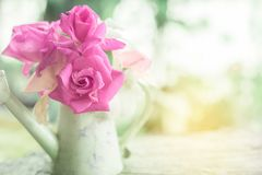 Beautiful pink garden roses flower in vintage jug over nature blur background royalty free stock photography