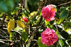 Pink gardenia flowers in the garden. Beautiful pink gardenia flowers in the garden under the sun flora blossom bush plant floral nature green leaf colorful fresh royalty free stock images