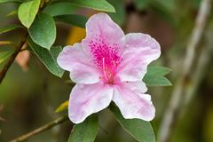 Beautiful Pink George Taber Azalea Flower In Garden At Fraser's Hill, Malaysia, South East Asia Royalty Free Stock Photography