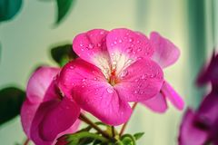 Beautiful pink geranium flower with water droplets on the leaves. Spring flowering plants. Close-up royalty free stock images