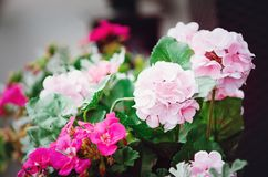 Beautiful pink geranium flowers stock photos
