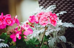 Beautiful pink geranium flowers. Decoration on the street. Close-up stock photo