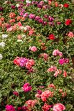 Beautiful Pink Geraniums royalty free stock images