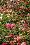 Beautiful Pink Geraniums stock images