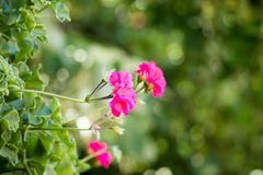 Beautiful pink geraniums in my mother`s garden, Serbia stock photography