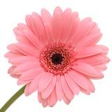 Beautiful pink gerber Stock Photo