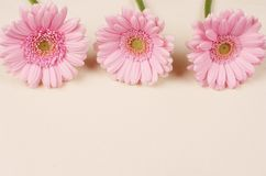 Beautiful pink Gerber Daisy Stock Images