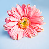 Beautiful pink gerbera Stock Image