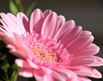 Close-up of Pink Gerbera flower Royalty Free Stock Photography