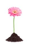 Beautiful pink gerbera daisy flower grouth Royalty Free Stock Images
