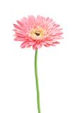 Beautiful pink gerbera daisy flower isolated. On white background Stock Photography