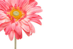 Beautiful pink gerbera daisy isolated on white Royalty Free Stock Image
