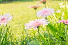 Beautiful pink Gerbera Royalty Free Stock Image