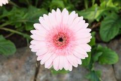 Beautiful pink Gerbera Stock Photos
