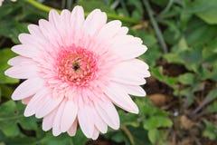Beautiful pink Gerbera Stock Images