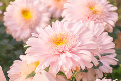 Beautiful pink Gerbera Royalty Free Stock Photography