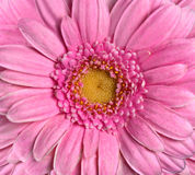 Beautiful Pink Gerbera Flower. Flowerhead Closeup Stock Image