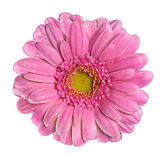 Beautiful Pink Gerbera Flower Isolated on White Stock Photography