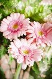 Beautiful pink gerbera flowers Stock Photo