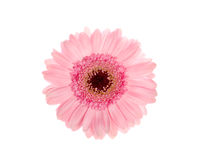 Beautiful pink gerbera Royalty Free Stock Image