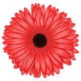 Beautiful pink gerbera isolated on white background . Stock Photos