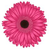 Beautiful pink gerbera isolated on white background . Stock Images