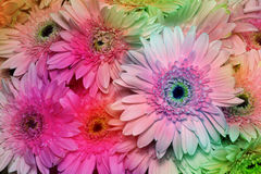 Beautiful Pink Gerbera Royalty Free Stock Photo