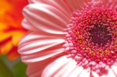 The beautiful pink gerberas. The image of the beautiful pink gerberas Royalty Free Stock Image