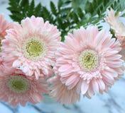 Beautiful pink gerberas stock photo