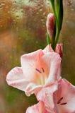Beautiful pink gladiolus Royalty Free Stock Images