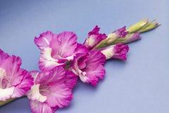 Beautiful pink gladiolus on blue background Royalty Free Stock Photography