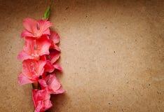 Beautiful pink gladiolus Stock Image