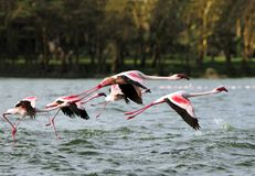 Beautiful pink Great Flamingos flying above Lake N Stock Photo