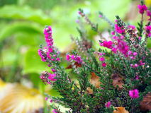 Beautiful pink heather in blossom Royalty Free Stock Photography